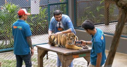 kinh nghiệm du lịch pattaya tự túc: tiger park