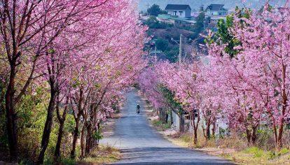 du lịch đà lạt tự túc mùa hoa mai anh đào