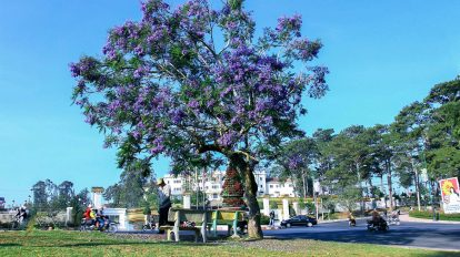 du lịch đà lạt tự túc mùa hoa phượng tím