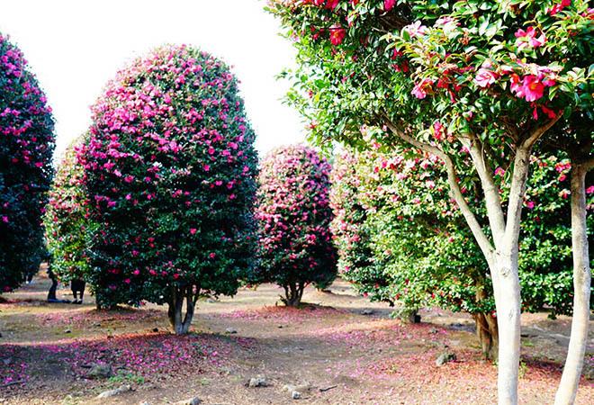 Vườn hoa trà