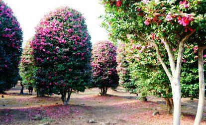 du lịch đảo jeu tự túc: chơi gì, ở đâu? vườn hoa trà