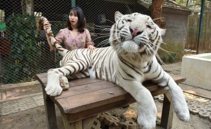 khám phá tiger kingdom