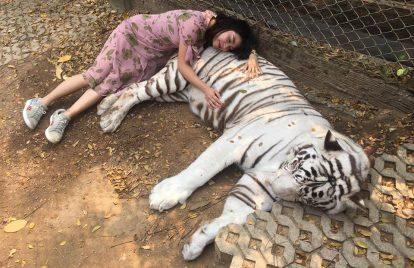 chụp ảnh với hổ trắng tại tiger kingdom