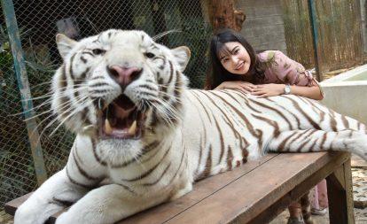 chụp ảnh với hổ trắng tại tiger kingdom chiang mai