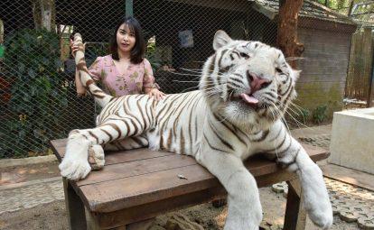 tham quan tiger kingdom chiang mai