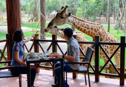 cho hươu cao cổ ăn ở vườn thú vinpearl safari phú quốc